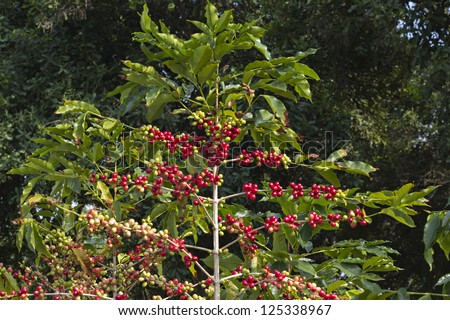 coffee berries on a branch .Coffee farm - stock photo