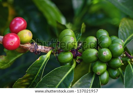 Coffee berries or cherries on branch of a coffee plant. Location: a coffee plantation in Boquete, Chiriqui, Panama (Central America). - stock photo
