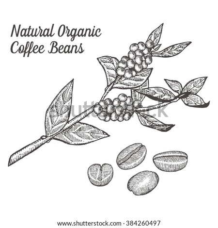 Coffee branch plant with leaf, berry, bean, fruit, seed. Natural organic coffee plant caffeine drink. Hand drawn green coffee illustration on white background. - stock photo