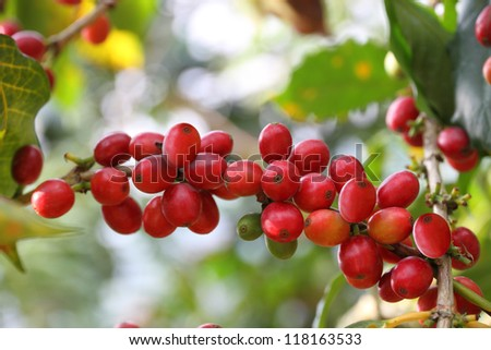 Coffee cherries - stock photo