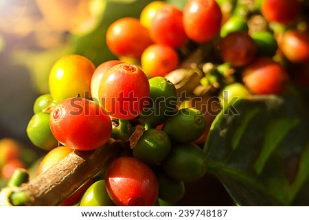 Coffee cherries or coffee bean on tree with sunlight. - stock photo