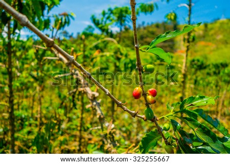 Coffee farm and plantations in Manizales, Colombia - stock photo