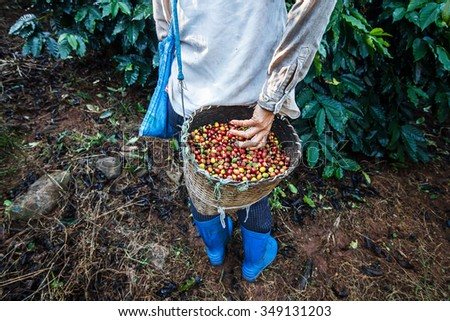 Coffee farmer picking ripe cherry beans. - stock photo