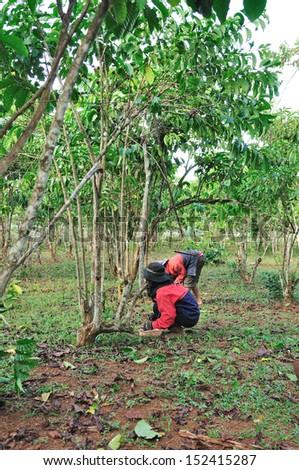Coffee farmers are harvesting coffee berries. - stock photo
