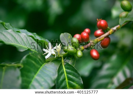 coffee flowers blossom, green and red ripe berries on green tree branch - stock photo