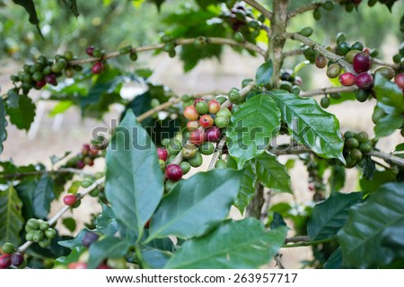 coffee fruit, red and green fresh coffee fruit or coffee bean on coffee tree - stock photo