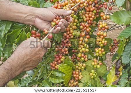 Coffee harvest - stock photo