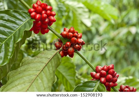 Coffee is a brewed beverage prepared from the roasted of coffee beans, The two coffee beans are the highly regarded  are arabica, and the robusta. - stock photo