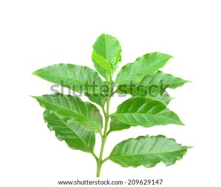 coffee leaves - stock photo