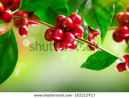 Coffee Plant. Red coffee beans on a branch of coffee tree. Branch of a coffee tree with ripe fruits  - stock photo