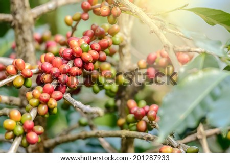 Coffee Plant. Red coffee beans on a branch of coffee tree Branch of a coffee tree with ripe fruits ,fresh coffee Cherry name ,green leaves have bokeh background - stock photo