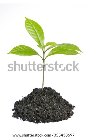 coffee plant tree growing seedling in soil isolated on white background - stock photo