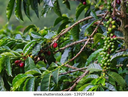 Coffee plant with berries. Location: a coffee plantation in Boquete, Panama (Central America).. - stock photo