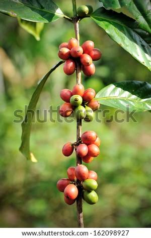 Coffee Plantation - stock photo