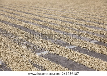 Coffee plantation in Costa Rica - stock photo