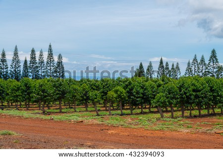 Coffee plants growing in the rich volcanic soil on Oahu north shore in the tropical environment of Hawaii famous weather. - stock photo