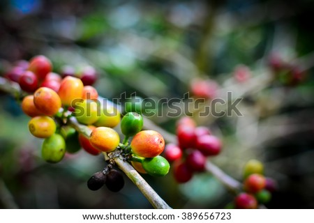 Coffee seeds on a coffee tree in Chiang rai, Thailand - stock photo