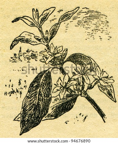 """coffee tree branch - an illustration from the book """"In the wake of Robinson Crusoe"""", Moscow, USSR, 1946. Artist Petr Pastukhov - stock photo"""