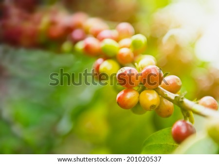 Coffee tree with berries fruits on green leaves background.  Shallow depth of field.   - stock photo