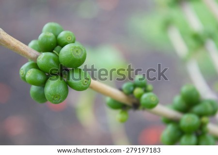 Coffee tree with coffee bean, green plant background - stock photo