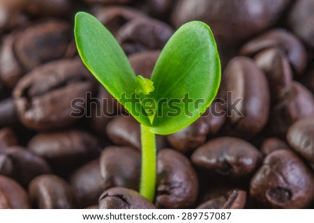 Coffee tree with coffee beans  - stock photo