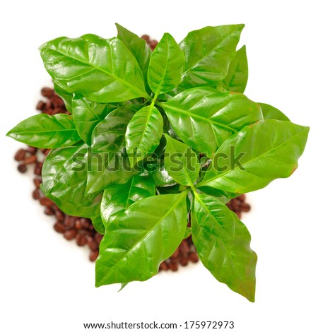 Coffee tree with coffee beans and ground on a white background - stock photo