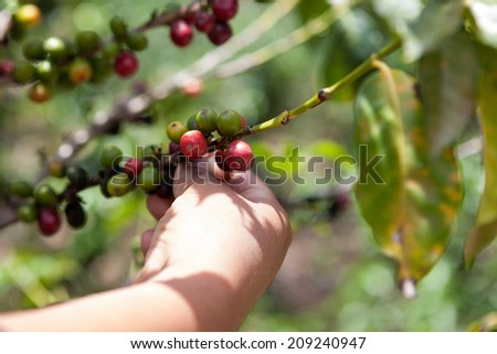 Coffee tree with ripe berries on organic farm harvested by hand. Food and drink coffee background. - stock photo