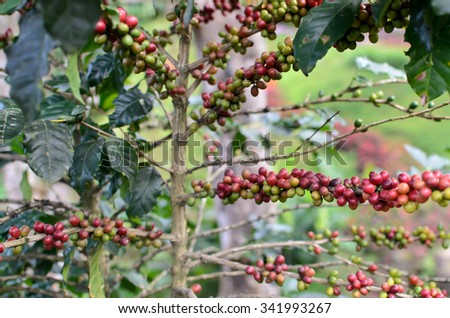 Coffee tree with ripe - Coffee beans on trees at North in Thailand - stock photo