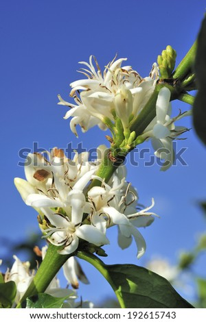 Coffee tree with white flower blossom - stock photo