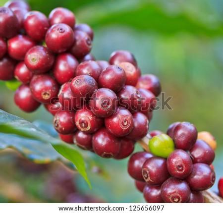 Coffee trees - stock photo