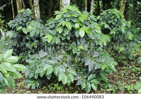 Coffee trees - Coffee plant - stock photo