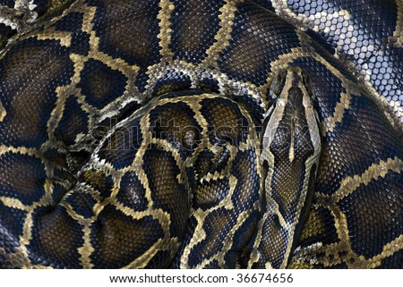Coiled snake waiting for its pray - stock photo
