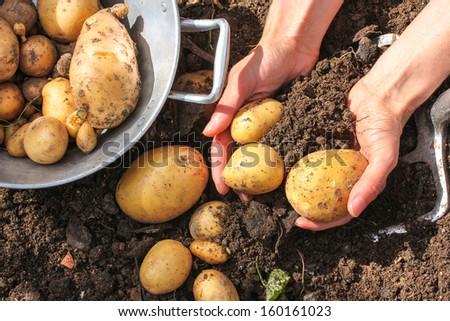 Colander and fresh potatoes harvest - stock photo