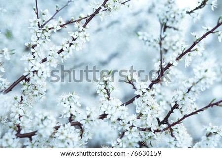 Cold blue tone cherry blossom background. Soft image with selective focus - stock photo