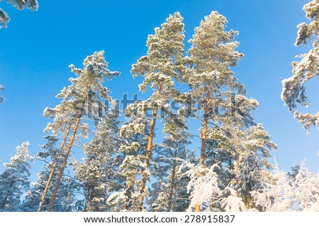 Cold Sunshine Snowy Fir Trees  - stock photo