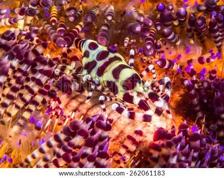 Coleman Shrimps (Periclimenes colemani) living on toxic sea urchin - stock photo