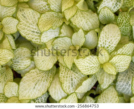 coleus plant foliage closeup, natural background - stock photo