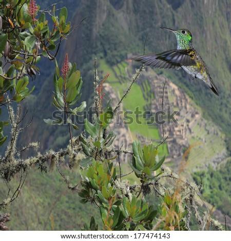Colibri on Machu Picchu background. Peru. - stock photo