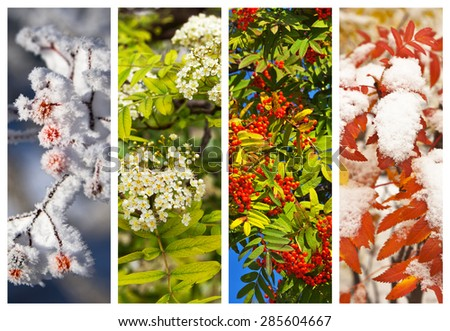 Collage. Branches of a mountain ash in winter, spring, summer and autumn. Floral backgrounds. Four seasons. Yearly calendar  - stock photo