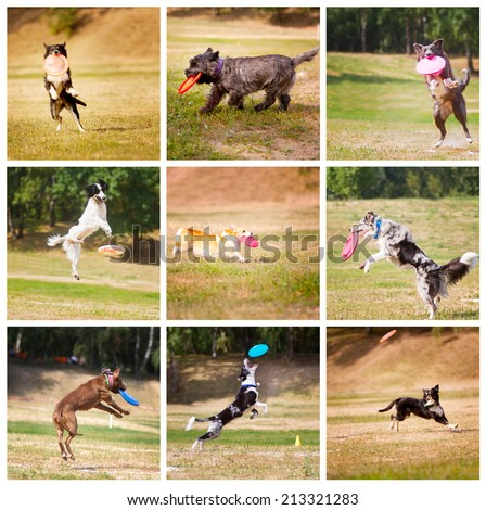 Collage dog frisbee. Dog playing jumping in the air with frisbee. - stock photo