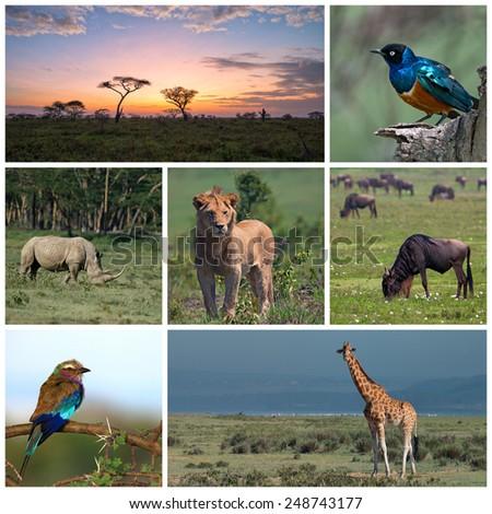 Collage made of animals during safari in savannah - stock photo