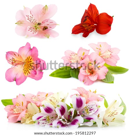 Collage of alstroemeria flowers isolated on white - stock photo