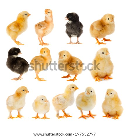 Collage of beautiful yellow and black chicks isolated on white background - stock photo