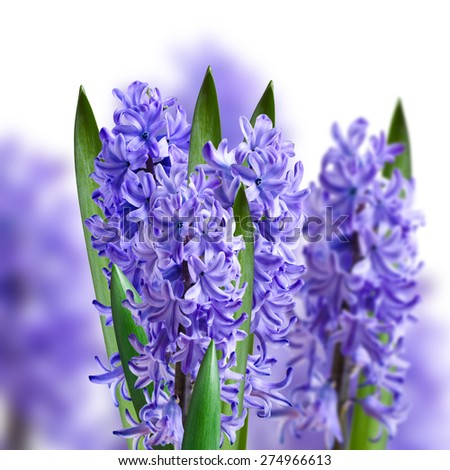 collage of blue bouquets of hyacinths in the background - stock photo