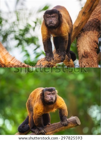 Collage of brown capuchin monkey looking among the trees - stock photo