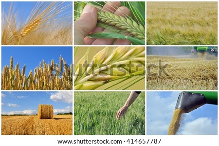 collage of cereal growing and harvest  - stock photo