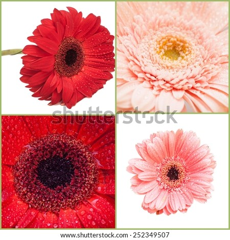 Collage of  Gerbera - stock photo