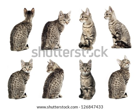 Collage of Little gray cat in different positions isolated on white background. - stock photo