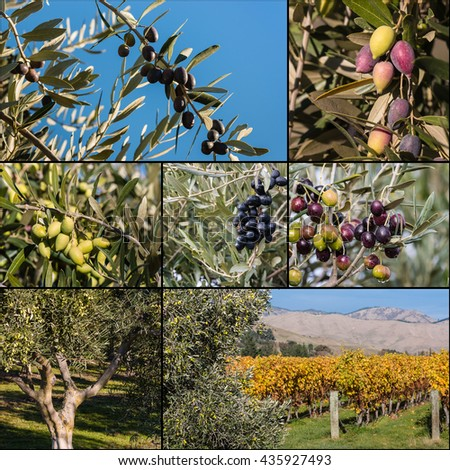 collage of olive trees and olives - stock photo