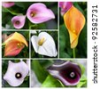 Collage of orange, pink, white, purple callas lilies - stock photo